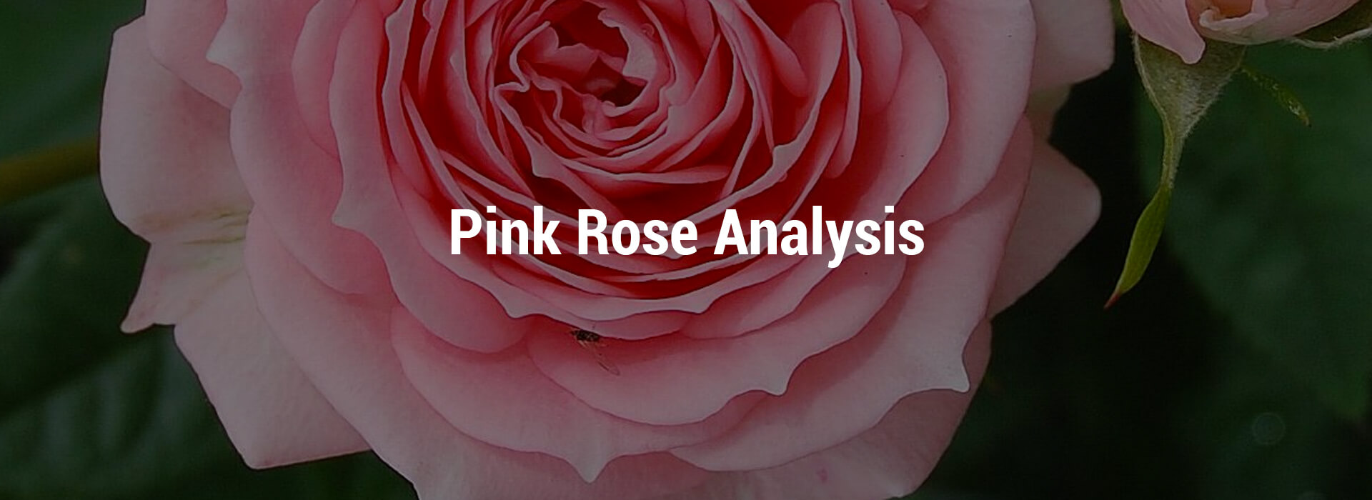 LVHS-pink-rose-header